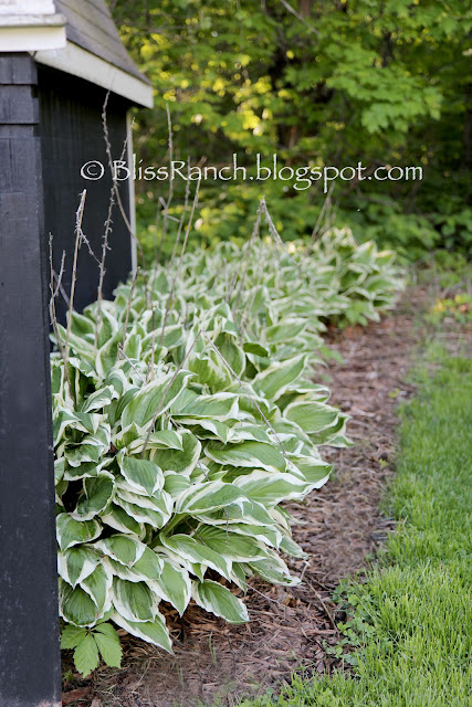 Hostas Bliss-Ranch.com