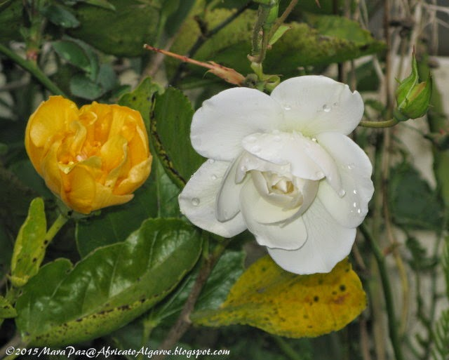 yellow hibiscus and white rose