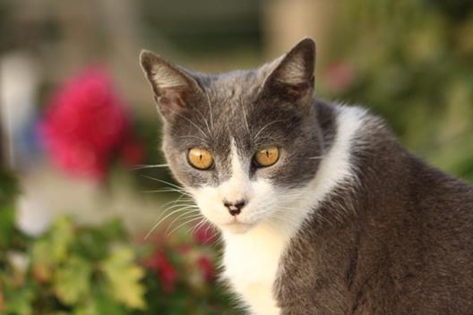 Kocie samce to brutale, czyli dlaczego kocur trzyma kotkę za kark podczas kopulacji?