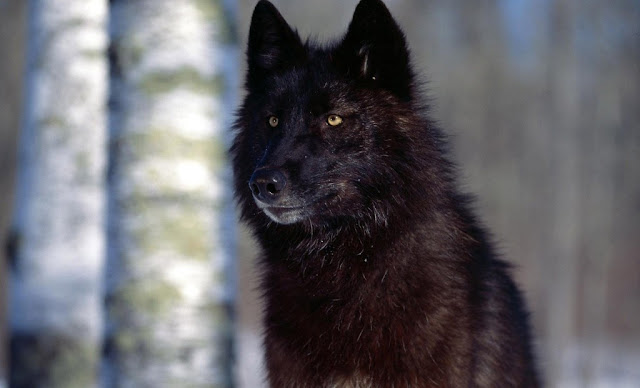 Beautiful Black Wolf Wallpaper And Background
