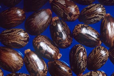 kacang kastor (castor bean) - Sekitar Dunia Unik