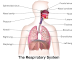 Science - Body systems, deep focus on the digestive system