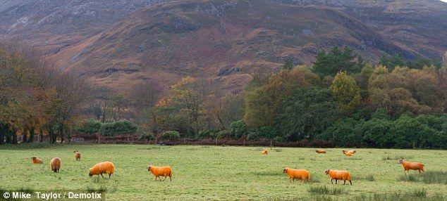 Cara Unik Gembala Di Skotlandia Atasi Pencurian Domba [ www.BlogApaAja.com ]