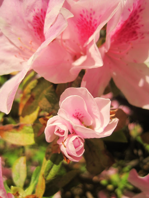 Wordless Wednesday-Signs of Spring-Natasha in Oz-Azalea Flower image