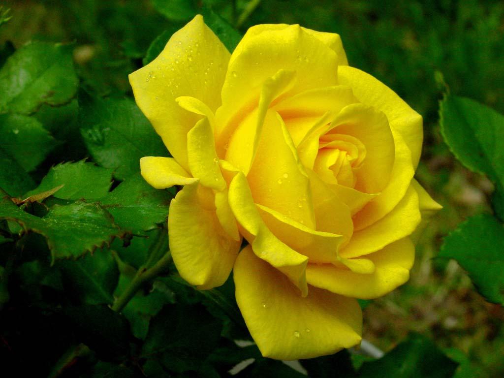 7 Wonders Of The World: Rose Wonders 2012