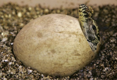 komodo dragon egg