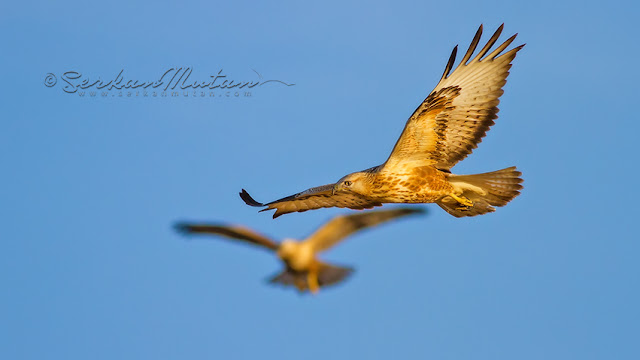Long-legged buzzard Buteo rufinus