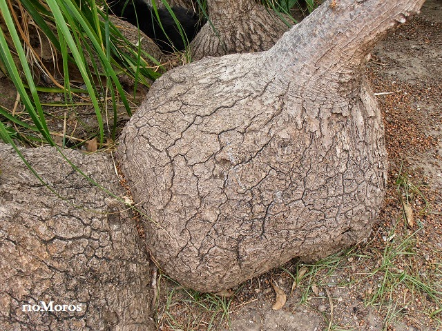 PATA DE ELEFANTE: Beaucarnea recurvata