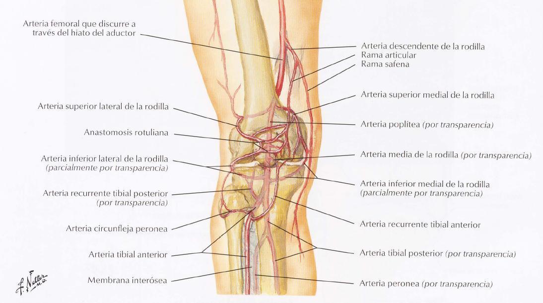 WikiMedicBook: Arterias del miembro inferior