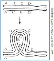 Homolog-homolog yang menunjukkan pembentukan gelang pada waktu sinapsis