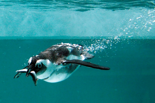 African penguin for Penguin and fish