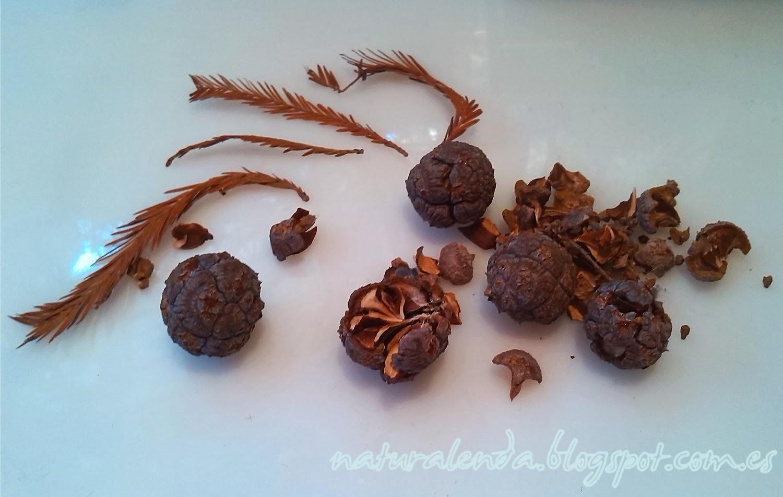 Piñas o frutos del taxodium