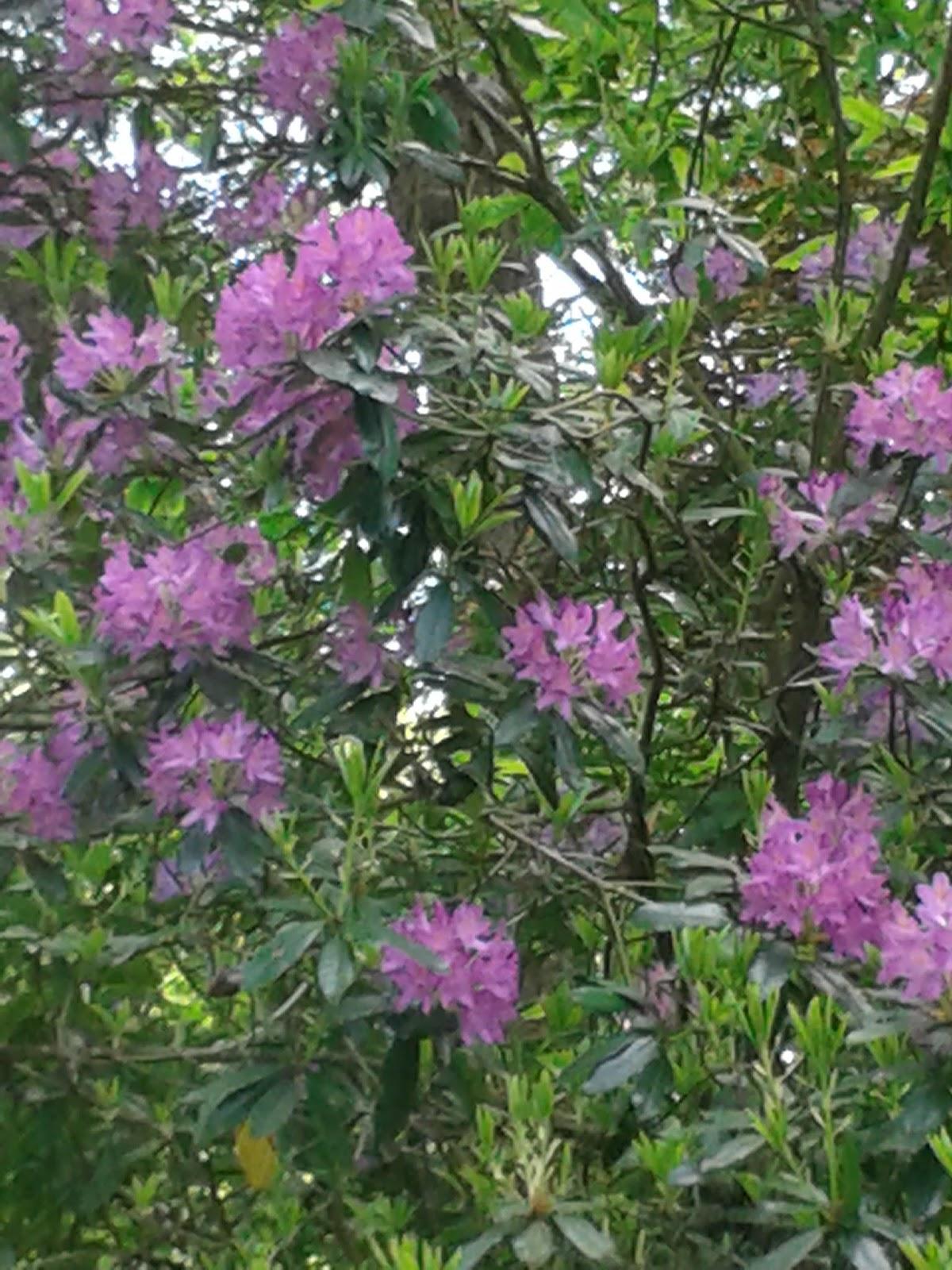 Flowers at National Trust Dyffryn Gardens - May 2015