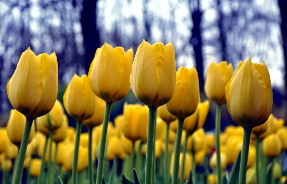 Gambar bunga tulip orange