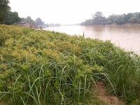 Tanaman Tepi Sungai Barito