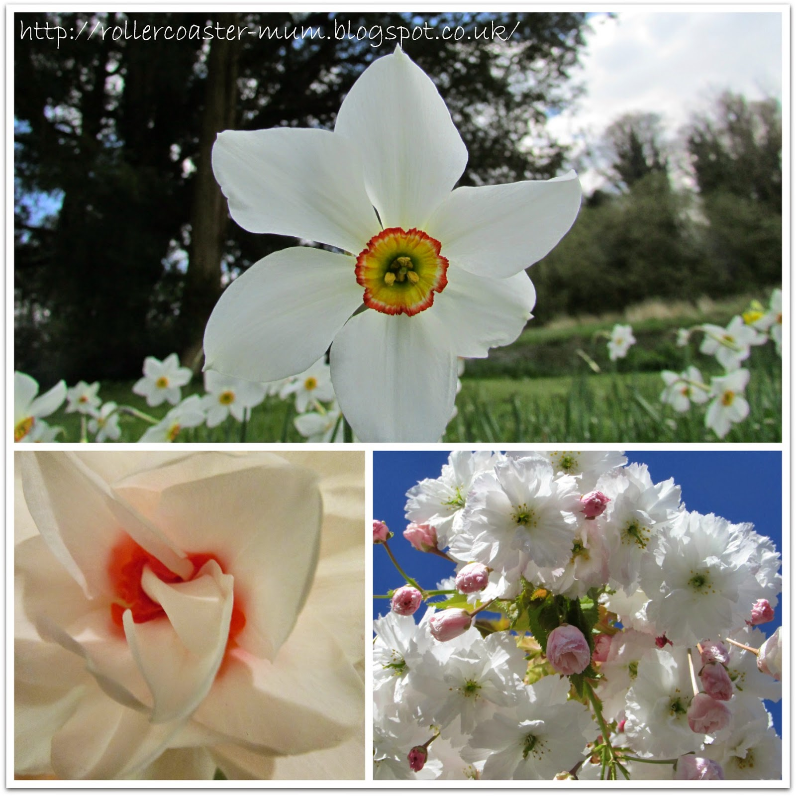 Spring flowers- narcissus and pink blossom