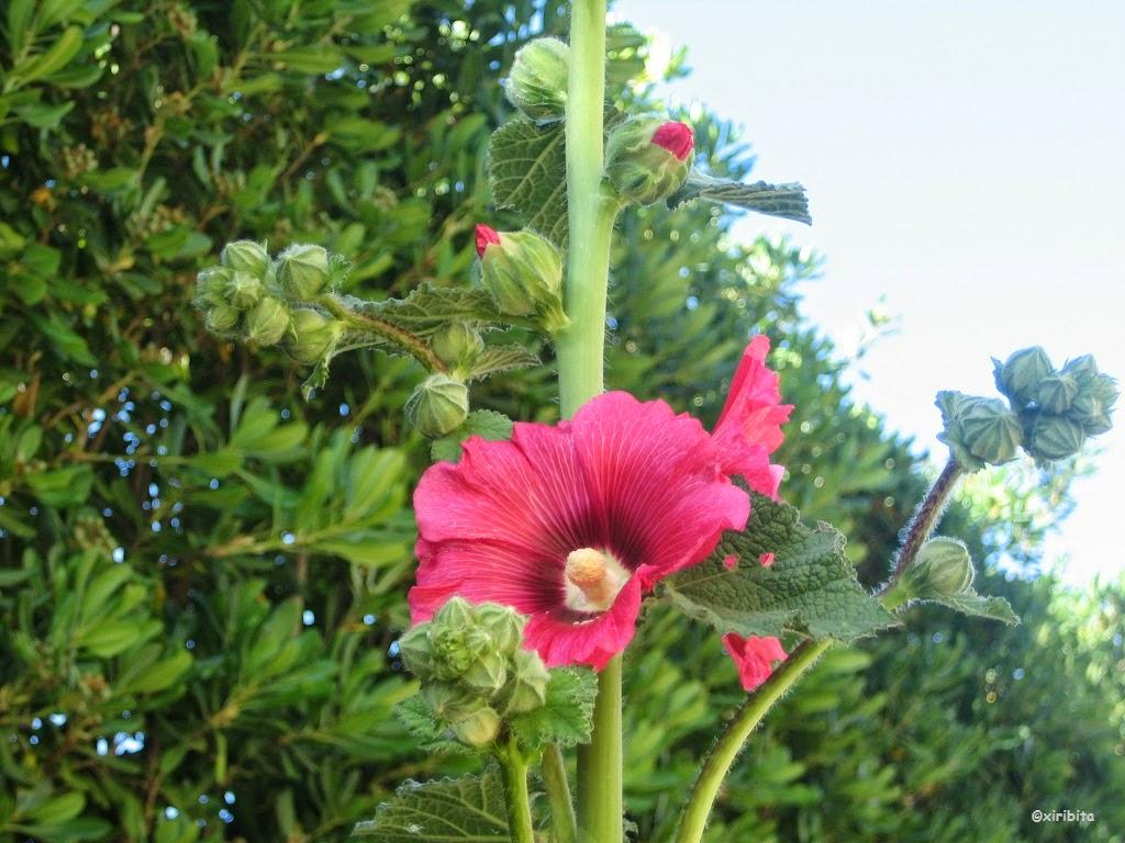 Entre amigos malvarrosa for Malvarrosa planta