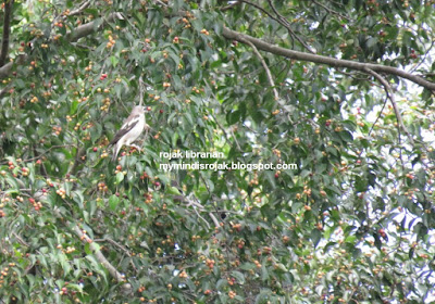 Daurian Starling in Bidadari