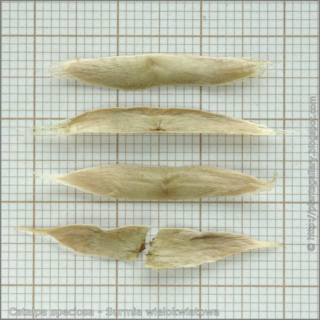 Catalpa speciosa seeds - Surmia wielkokwiatowa nasiona