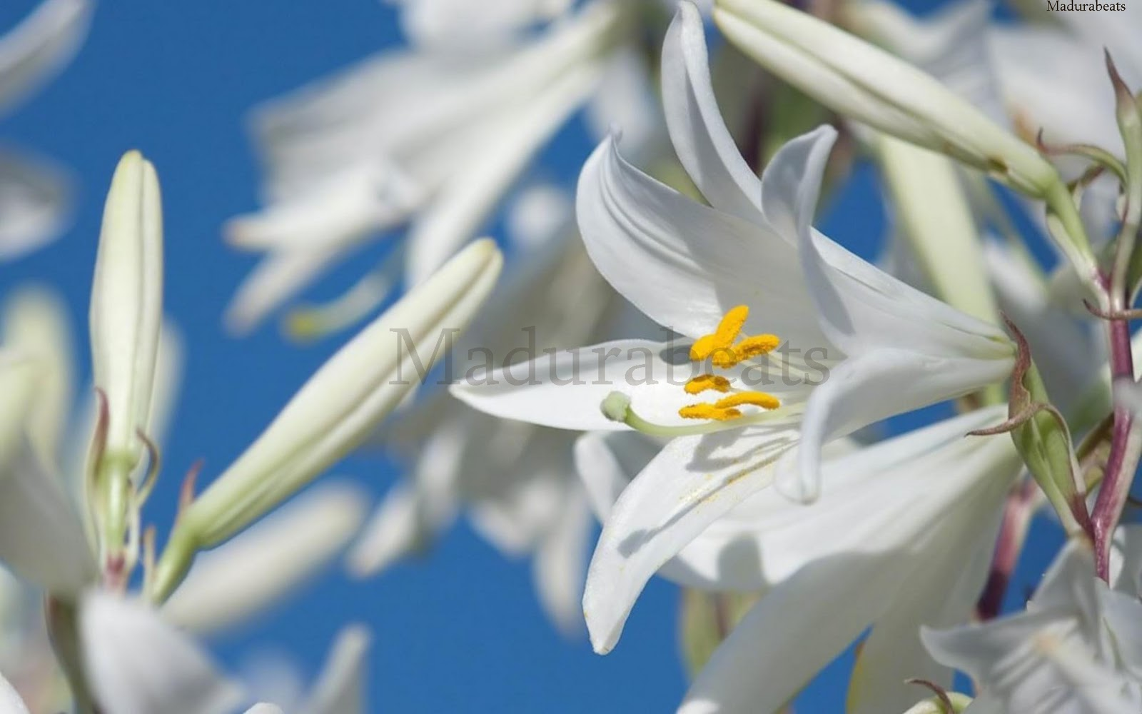 Flower images, Wide screen wallpapers,Madonna_lily_Flower