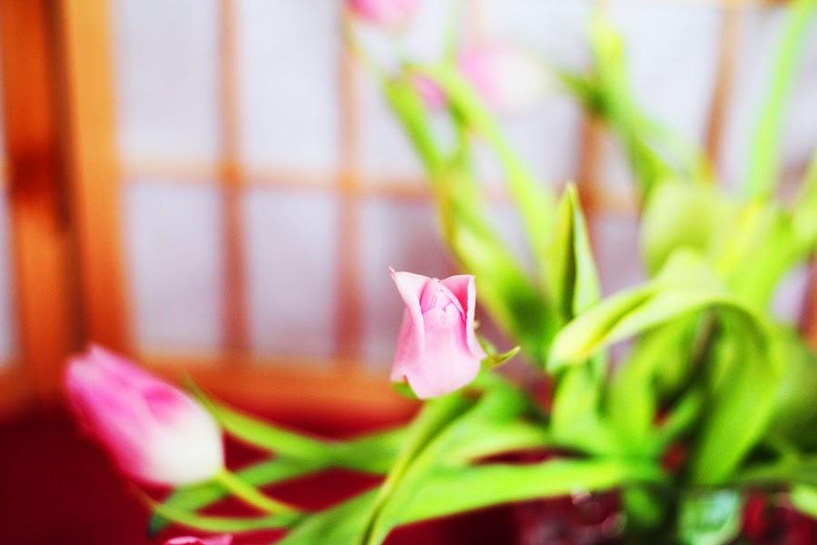 rosa tulpen blumen