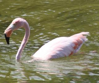 Flamingo in a Tidal Pool at Punta Moreno, Isabela Island, Galapagos