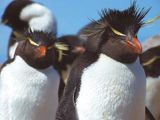 Pingüinos con cresta