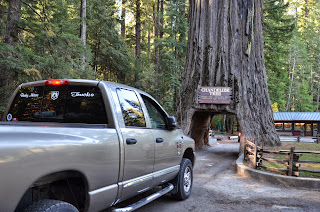 Tree in Redwood forest that a car can drive through, like a tunnel.