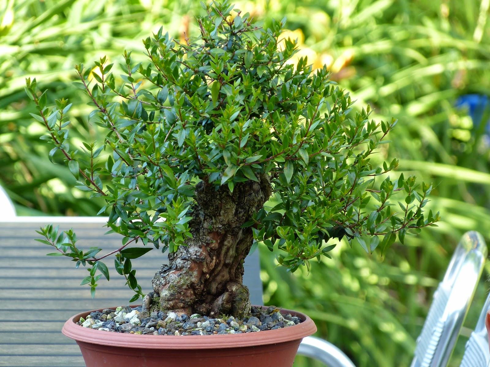 Holger39s Bonsai Blog Acer Rubrum Myrtus Communis