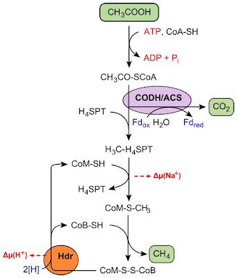 Metanogenesis asetat