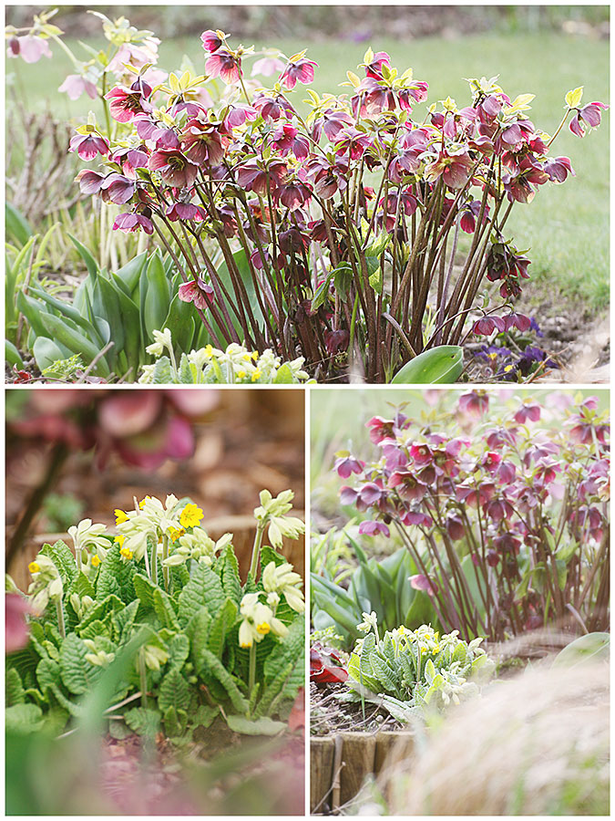 Lenten roses and English Cowslips in flower in the March garden