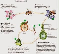 Imagenes del proceso de reproduccion sexual de las plantas
