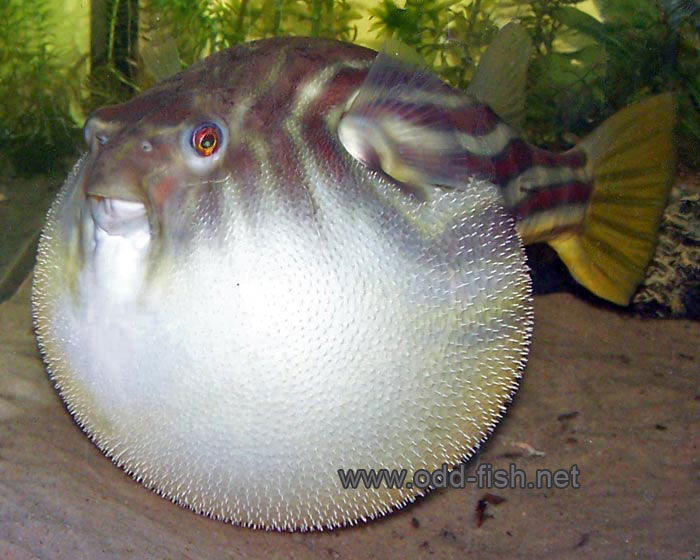 Fahaka Puffer Images & Pictures - Becuo