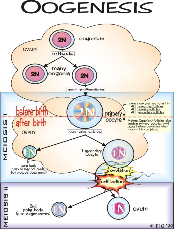 Catatan sang peternak perbedaan spermatogenesis dengan oogenesis gambar pembelahan sel oogenesis ccuart Choice Image