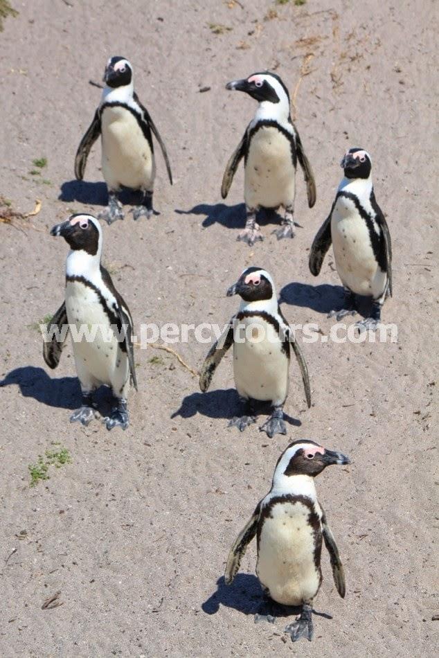 Penguin colony, Hermanus