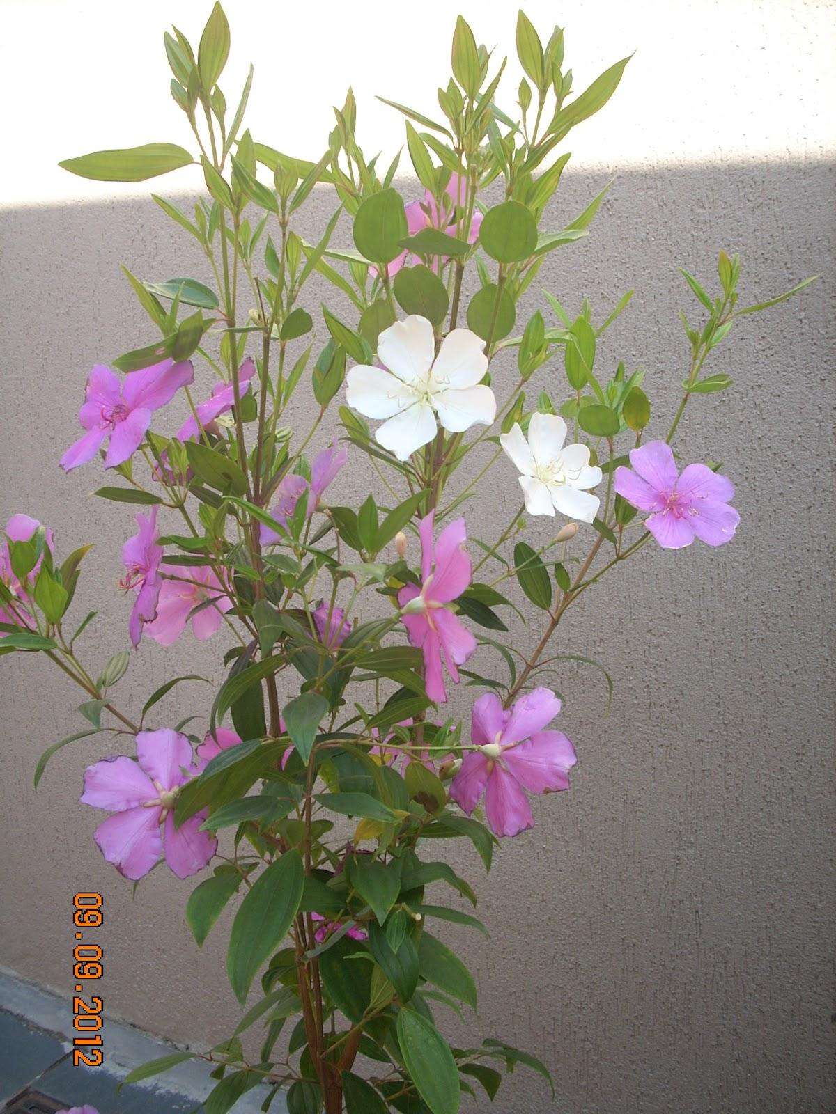 meu quintal meu jardim : meu quintal meu jardim:Coisas de Ada: Manacá da Serra no meu quintal
