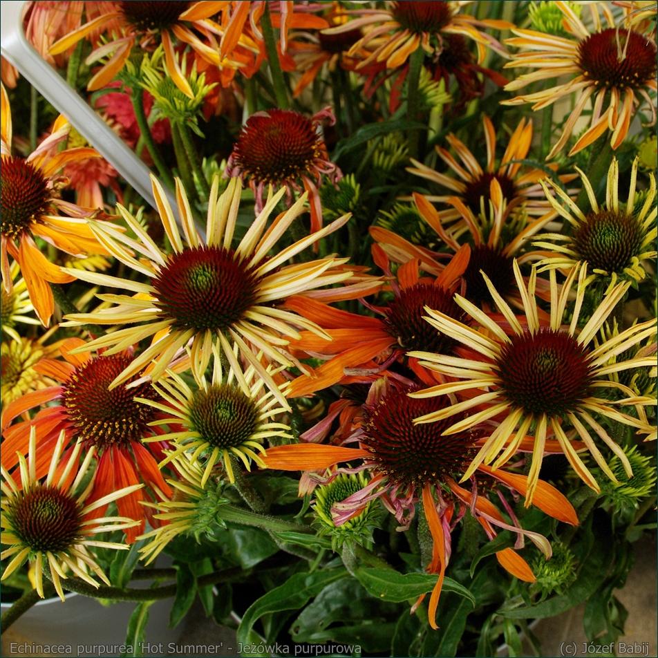 Echinacea purpurea 'Hot Summer' - Jeżówka purpurowa  'Hot Summer'