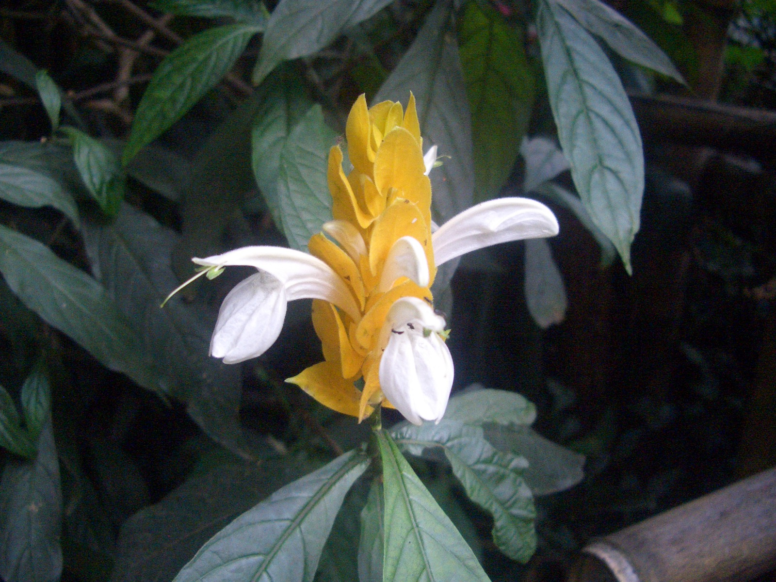 Eileen First Interest Beautiful Plants And Flowers Golden Candle
