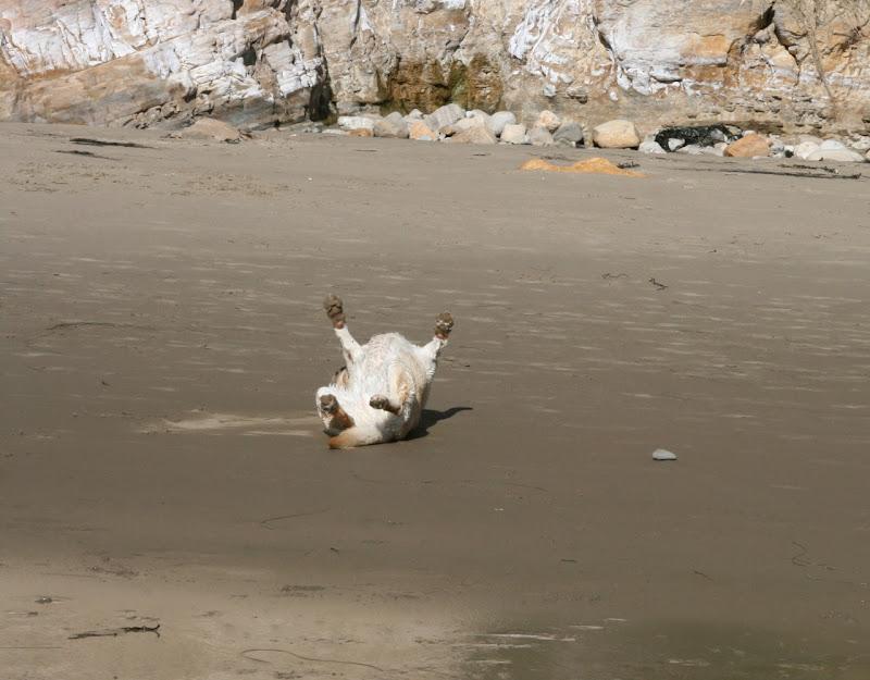 Rolling in sand Hendrys Dog Beach