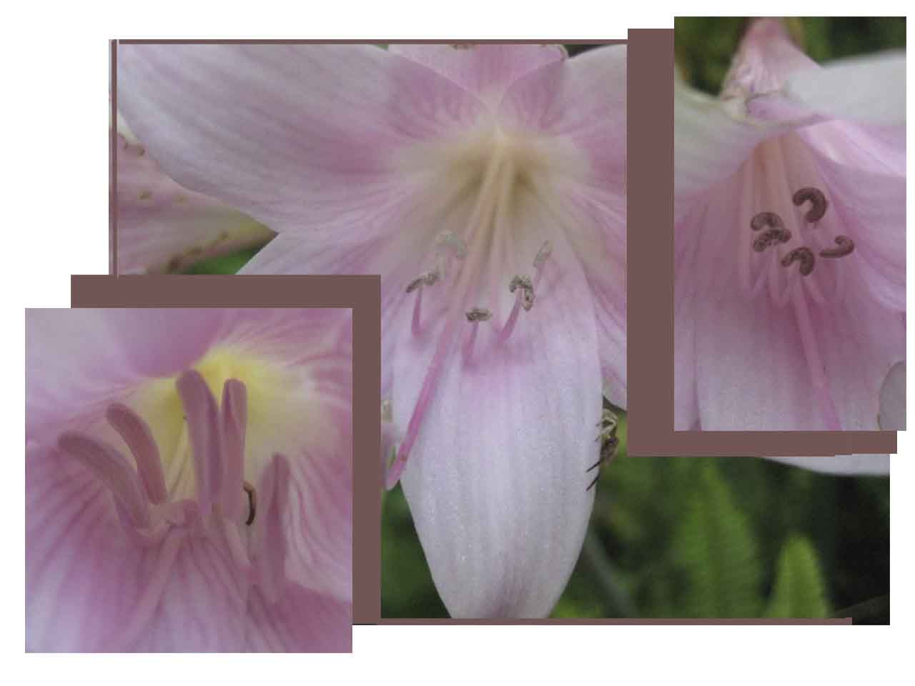 What do i know brief wondrous flight to coyotes for Amaryllis sweet pink
