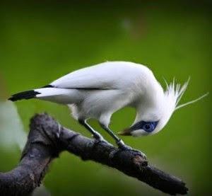 Foto Burung Jalak Malaysia Terbaik