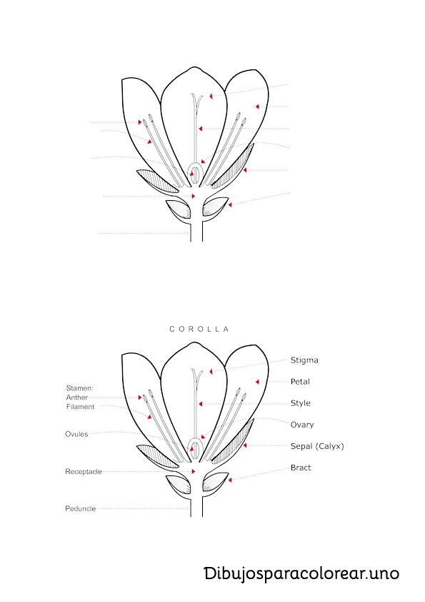 Aprender y colorear las partes de la flor en ingles
