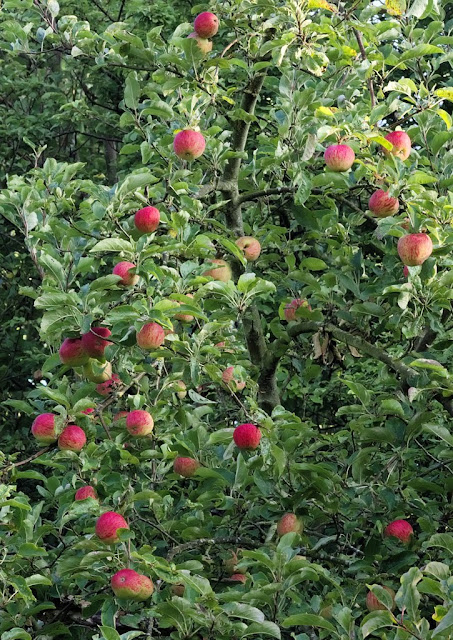 Ripe red apples growing on tree