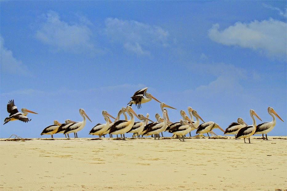 Pantai Ngurtafur Berjalan Di Tengah Laut Hingga Bertemu Pelikan Tempat Wisata