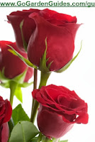 Bouquet of Red Roses High Quality Picture