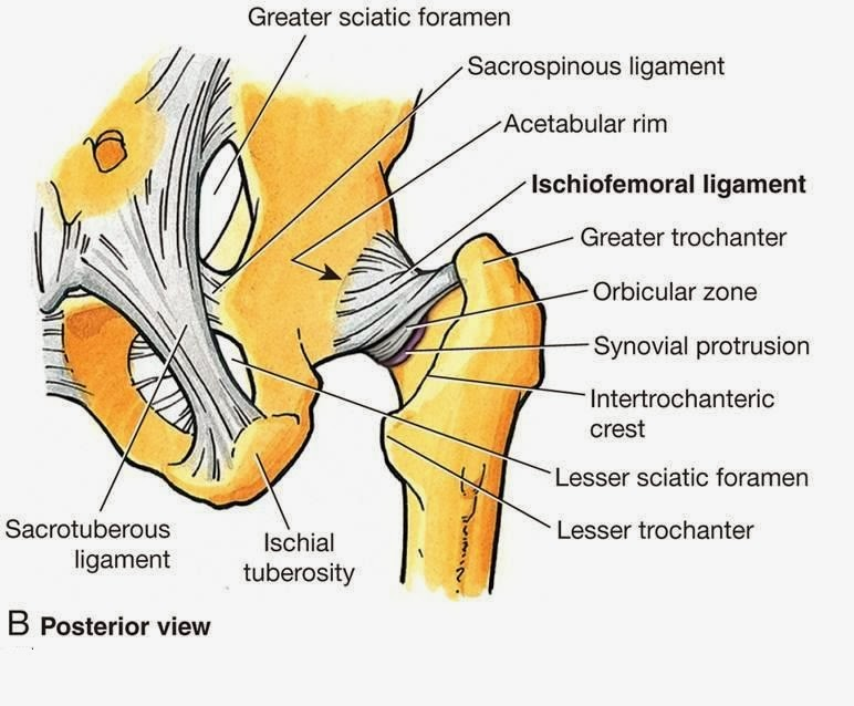 Hip joint diagram