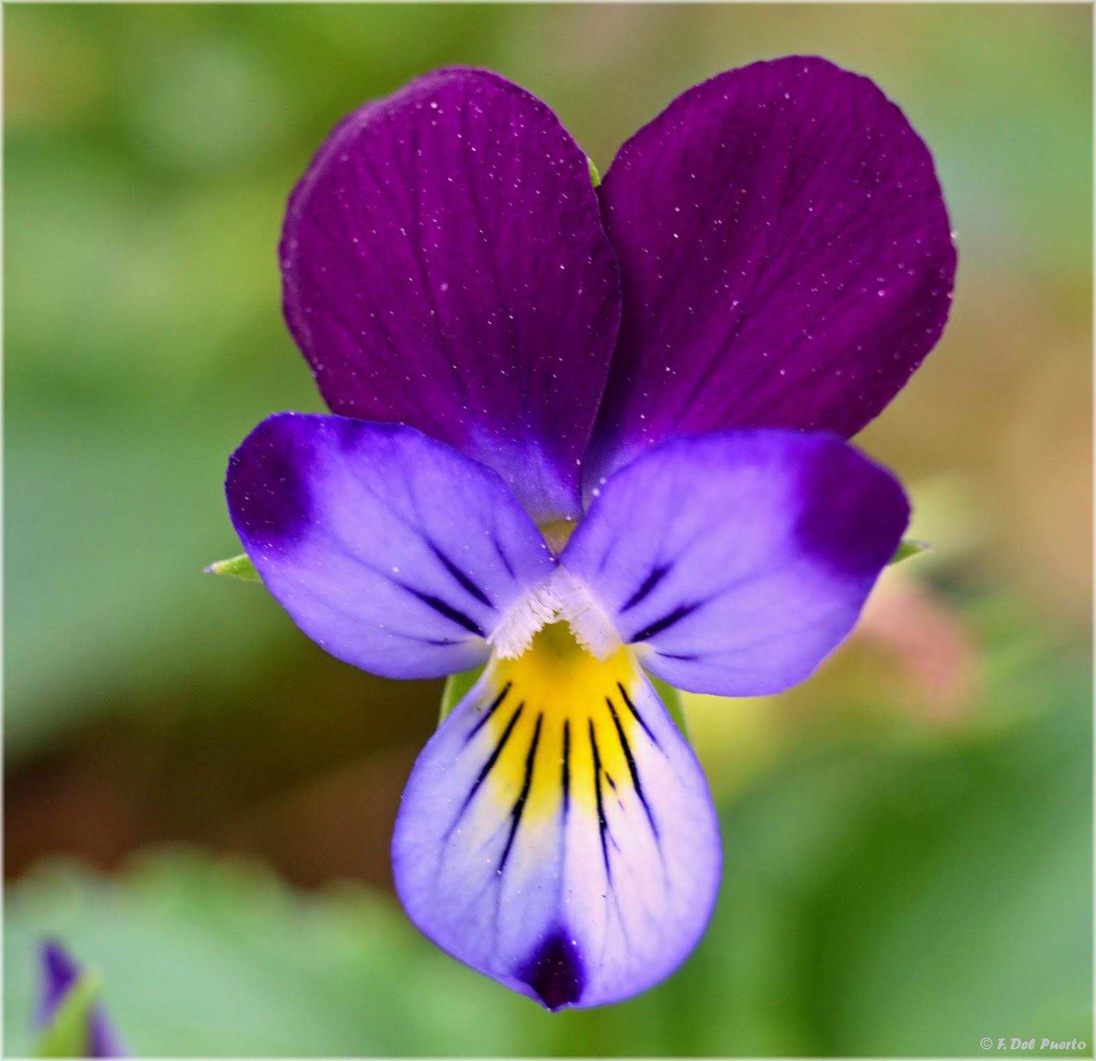Imagenes De Flores De Pensamiento - El pensamiento: Una planta de otoño El rincón de Sonia
