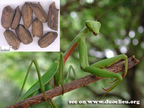 Tenodera sinensis Saussure; 2. Statilia maculata (Thunb.); 3. Hierodula patellifera (Serville)