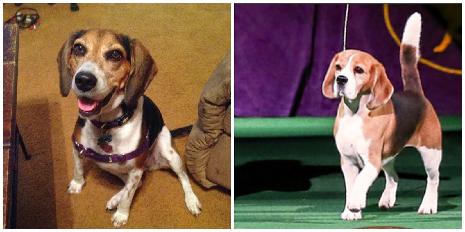 life with beagle want a show beagle like miss p 5 things to know