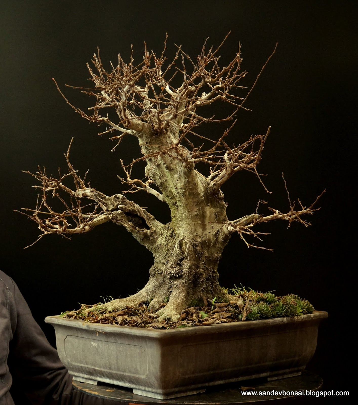 SandevBonsai VIDEO Carpinus Orientalis QuotKiller Nebariquot Winter